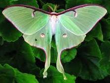 Luna Moth 5